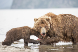 Kamchatka brown bear and cub eating fish at water's edge, Kurile Lake, Kamchatka Peninsula, Russiaの写真素材 [FYI04322769]