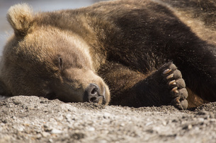 Kamchatka brown bear relaxing on ground, Kurile Lake, Kamchatka Peninsula, Russiaの写真素材 [FYI04322770]