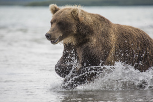 Kamchatka brown bear moving through water, Kurile Lake, Kamchatka Peninsula, Russiaの写真素材 [FYI04322773]