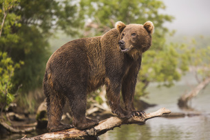 Full length side view of Kamchatka brown bear on log at lakeshoreの写真素材 [FYI04322775]