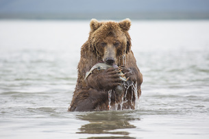 Kamchatka brown bear eating salmon in lake, Kurile Lake, Kamchatka Peninsula, Russiaの写真素材 [FYI04322778]
