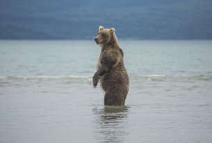 Kamchatka brown bear standing in lake, Kurile Lake, Kamchatka Peninsula, Russiaの写真素材 [FYI04322779]