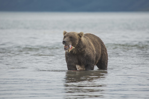 Brown bear eating salmon in lake, Kurile Lake, Kamchatka Peninsula, Russiaの写真素材 [FYI04322782]