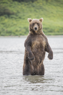 Kamchatka brown bear standing in lake, Kurile Lake, Kamchatka Peninsula, Russiaの写真素材 [FYI04322784]