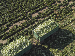 High angle view of trailers of cabbages in field, St. Poelten, Austriaの写真素材 [FYI04322969]