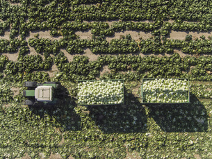 Directly above view of tractor and trailers of cabbage in field, St. Poelten, Austriaの写真素材 [FYI04322981]