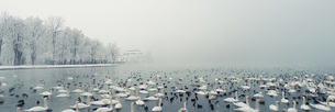 Panoramic view of birds swimming in lake during winter, Lake Atter, Seewalchen, Upper Austriaの写真素材 [FYI04323039]