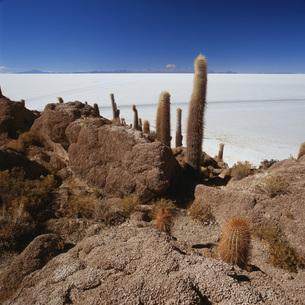 Cactus on rock formation in desert against blue sky, Salar de Uyuni, Boliviaの写真素材 [FYI04323040]