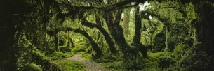Panoramic view of moss covered trees in forest, Enchanted Forest, Queulat National Park, Patagoniaの写真素材 [FYI04323044]