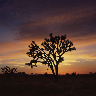 Silhouette of tree in landscape against orange sky during sunset, Joshua Tree National Park, USAの写真素材 [FYI04323047]