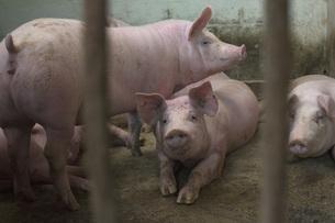 Pigs in enclosure at farmの写真素材 [FYI04323101]