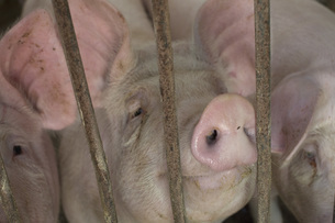Close-up of pigs in enclosure at farmの写真素材 [FYI04323102]