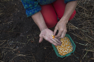 Midsection of woman holding corn kernels at farmの写真素材 [FYI04323104]