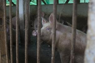 Pigs in enclosure at farmの写真素材 [FYI04323105]