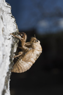 Close-up of cicada on rock outdoorsの写真素材 [FYI04323124]