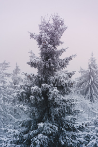Low angle view of snow covered treesの写真素材 [FYI04323145]