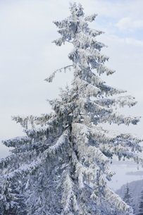 Low angle view of snow covered tree against skyの写真素材 [FYI04323151]