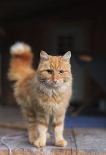 Portrait of ginger cat standing on floorboardの写真素材 [FYI04323165]