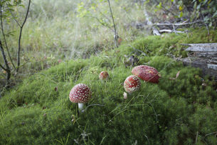 High angle view of fly agaric mushrooms growing in forestの写真素材 [FYI04323166]