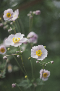 Close-up of white poppy flowers blooming at parkの写真素材 [FYI04323168]