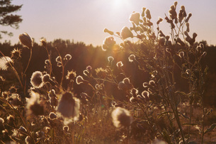 Plants growing on field during sunsetの写真素材 [FYI04323170]
