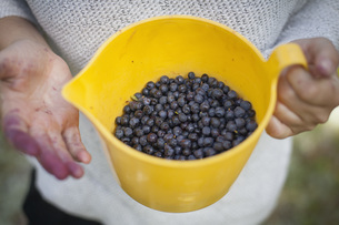 Midsection of woman holding freshly harvested blueberries in jug at fieldの写真素材 [FYI04323172]