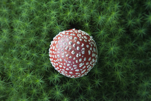 Directly above shot of fly agaric mushroom growing on fieldの写真素材 [FYI04323173]