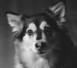 Close-up portrait of dog against gray backgroundの写真素材 [FYI04323174]