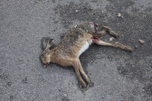High angle view of dead hare on roadの写真素材 [FYI04323188]
