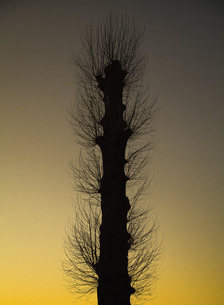 Low angle view of silhouette plant against clear sky during sunsetの写真素材 [FYI04323198]