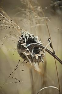 Close-up of dead flowerの写真素材 [FYI04323207]