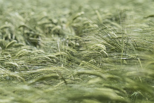 Full frame shot of green wheat fieldの写真素材 [FYI04323209]
