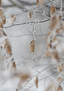 Close-up of frost covered treeの写真素材 [FYI04323211]