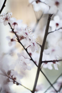 Close-up of cherry blossomsの写真素材 [FYI04323219]