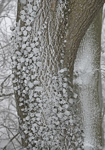 Close-up of frost covered ivy plant on treeの写真素材 [FYI04323230]