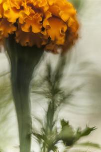 Close-up of orange marigoldの写真素材 [FYI04323234]