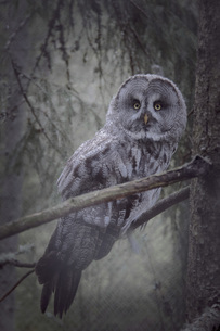 Portrait of great gray owl perching on branch in forestの写真素材 [FYI04323243]