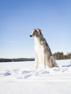 Borzoi looking away while sitting on snow covered field against clear blue skyの写真素材 [FYI04323245]