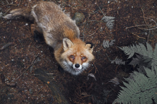 High angle portrait of fox in forestの写真素材 [FYI04323251]