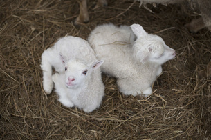 High angle view of lambs resting on hayの写真素材 [FYI04323257]
