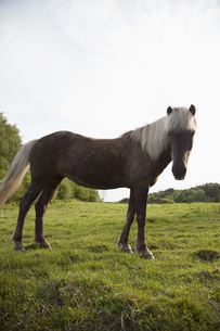 Side view of horse standing in grassy fieldの写真素材 [FYI04323258]