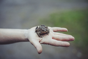 Cropped image of hand holding frogの写真素材 [FYI04323260]