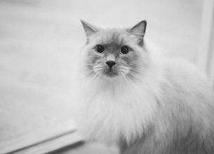 Portrait of cat against white backgroundの写真素材 [FYI04323261]