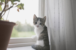 Portrait of cat sitting on window sillの写真素材 [FYI04323263]