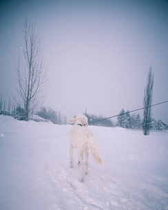 Rear view of poodle walking in snowy landscapeの写真素材 [FYI04323264]