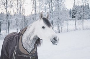 Close-up of an Arabian horse in a snowy fieldの写真素材 [FYI04323266]