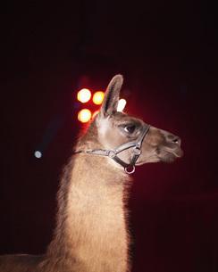 Side view of llama at nightの写真素材 [FYI04323277]