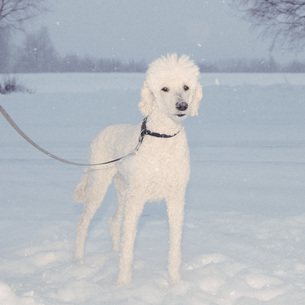 Portrait of poodle standing in snowy fieldの写真素材 [FYI04323280]