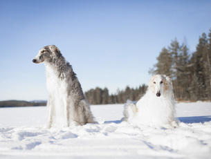 Borzoi dogs looking away while resting in snow covered field against clear blue skyの写真素材 [FYI04323288]