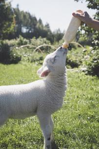 Man's hand feeding lamb with milk bottle on grassの写真素材 [FYI04323339]